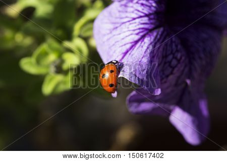 ladybird on a purple (lilac) flower. Ladybug and purple (lilac) flower