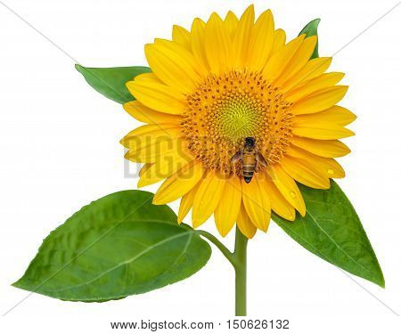 sunflower and working bee isolated on white background