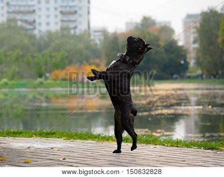 Funny dog stands on its hind legs. City park autumn pond