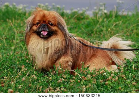 dog breed Pekingese on a green grass