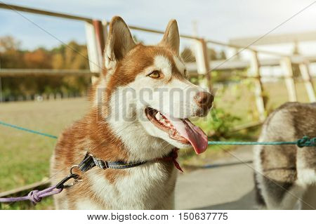 Portrait red Husky dog with a smile and his tongue hanging out