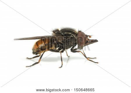 Rhingia campestris hoverfly on a white background