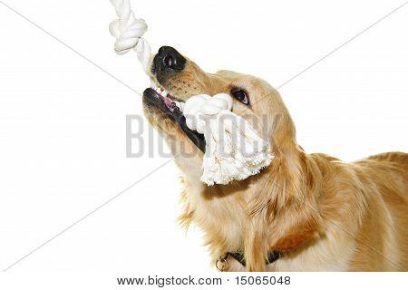 Golden Retriever Dog Biting Rope Toy