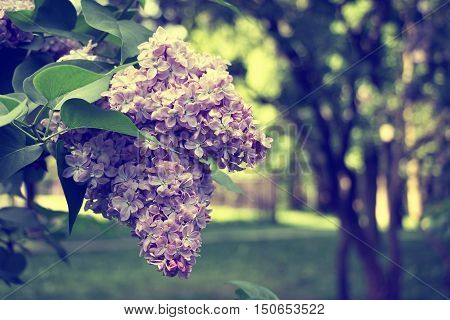Lilac blooms. A beautiful bunch of lilac closeup. Lilac Flowering. Lilac flowers in the garden. Vintage style.