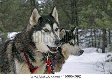 Sibirische Huskies zwei Leithunde startbereit im Gespann|Two Siberian Huskies leaddogs waiting to pull sleigh