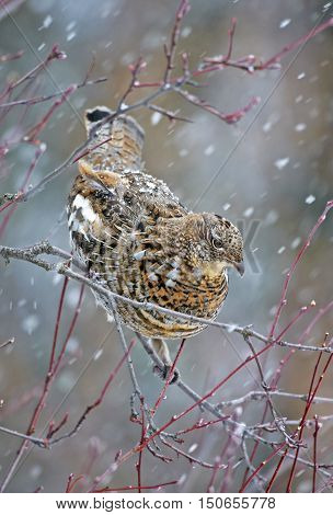 Ruffed Grouse perched in Tree in snowstorm
