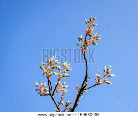 Closeup of budding and flowering snowy mespilus or Amelanchier ovalis twigs of a shrub against a blue sky on a sunny day in the the beginning of the summer season in the Netherlands.
