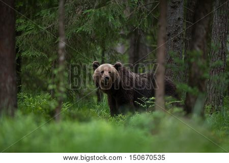 Eurasian brown bear (Ursus arctos arctos) in the forest in Estonia.