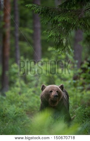 Brown bear (Ursus arctos) in the forest