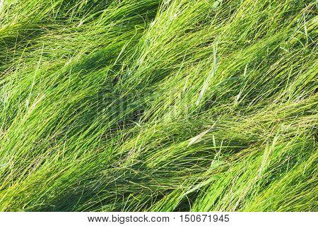 Fresh Bright Long Green Grass Background