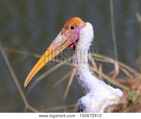 head and neck of breeding Painted Stork peering up over the edge of a cliff  through dead grass stalks, pond near Songkhla, Thailand