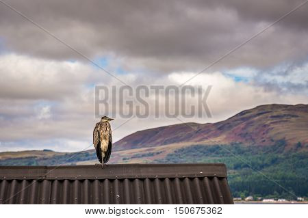 Heron on shed roof, located on the eastern shore of Loch Fyne is the remains of Castle Lachlan, with a resting heron