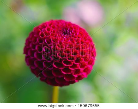 Selective focus in camera effect on a pompom dahlia.