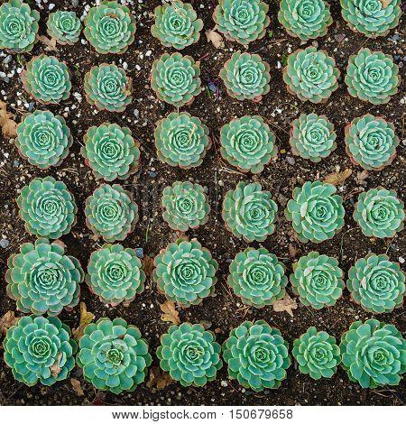 A background of succulent type sedum