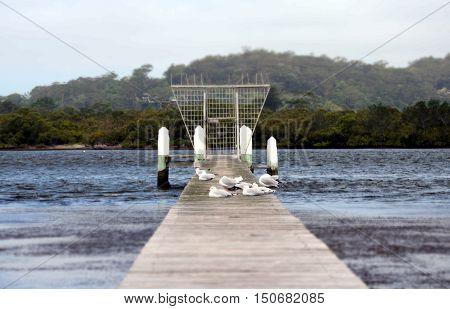 Seagull urbanization multitude of seagulls on a pier