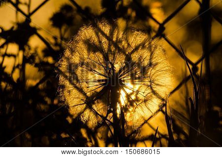 Dandelion behind a chain link fence at sunset close up