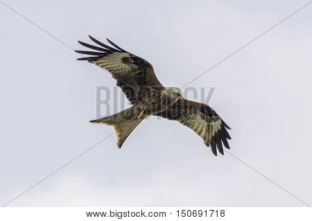 A wild red kite (Milvus milvus) in flight and surveying the ground for prey.