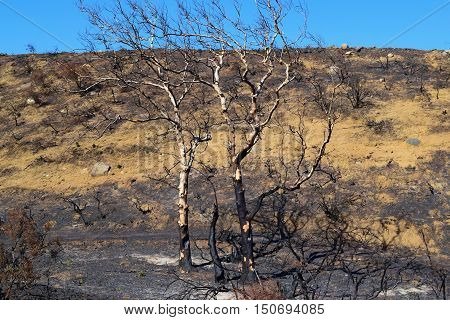 Charcoaled landscape including a burnt field with Sycamore Trees caused from a wildfire taken in Cajon, CA