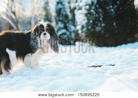 funny cavalier king charles spaniel dog covered with snow playing on the walk in winter garden. Dogs having fun outdoor.
