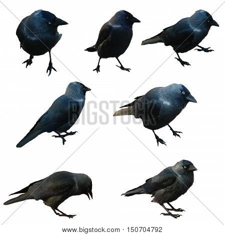 black birds crow isolated on white background