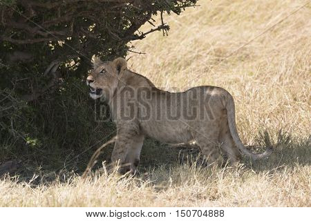 Young african lion looking for shadow under tree Masai Mara National Reserve Kenya Africa