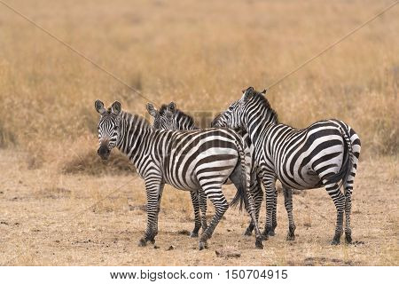 Small herd of plain zebras in savannah Kenya