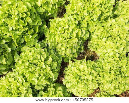 Fresh green organic hydroponic vegetables plantation system.