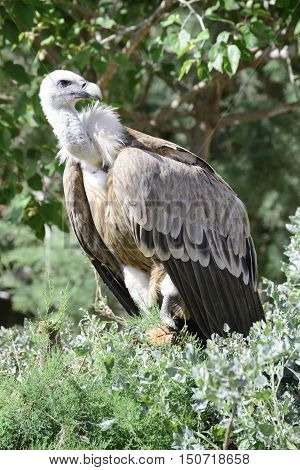 Griffon vulture, Gyps fulvus, single bird in a tree