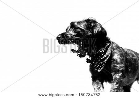 Dog Yawning. Black and white. Polka dot handkerchief.