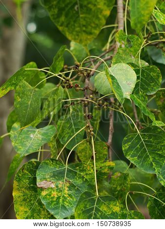 closeup shot of a sacred fig bodhi tree pippala tree peepal tree or ashwattha tree or Ficus religiosa's leaves