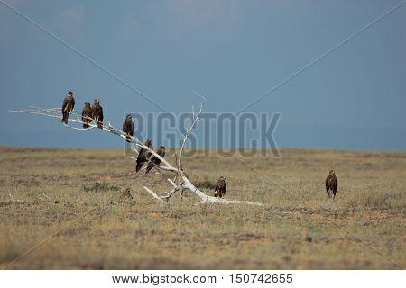 nature, animals, bird, kites, kite, predator, scavenger, steppe, arid steppe, summer