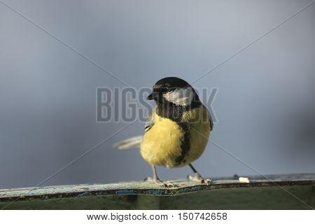 flora, animals, bird, tit, titmouse, semeistvo simicevic, passerine, friends