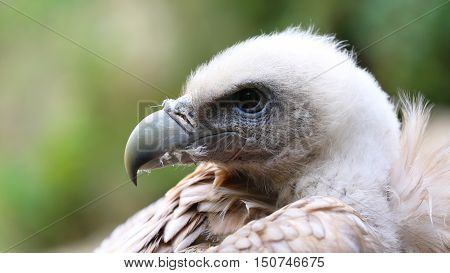 Close Up Portrait Of A Griffon Vulture (Gyps Fulvus)