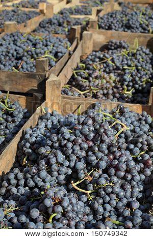 Merlot Grape For Wine Making