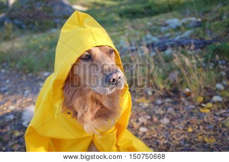 Dog (Golden retriever) wearing yellow oversize humans raincoat.
