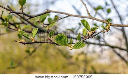 Closeup of the fresh green leaves on a sprig of a black alder tree on a sunny day in the early spring season. The life cycle begins again.