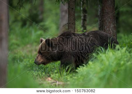 Brown bear in the forest in Estonia