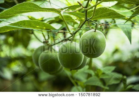The passion fruits closeup with green background in summer