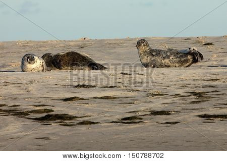 Seals on the sandbank in the north sea