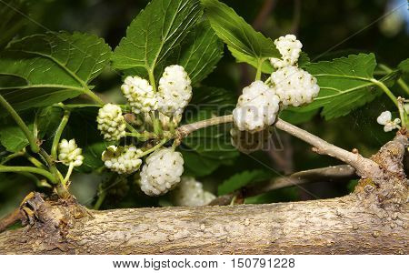Fruits and leaves of White mulberry (Morus alba).