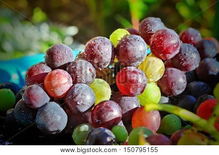 closeup of colorful grapes with dropes selective focus
