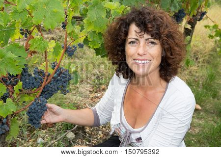 Woman, Vine Grower, Inspecting The Fresh Grape Crop In Vineyard.