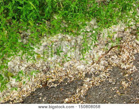 Poplar fluff in the park on july