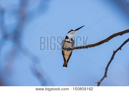 Close-up Of A Cute Black And White Kingfisher Perched On A Acacia Tree Branch. Telephoto View From B