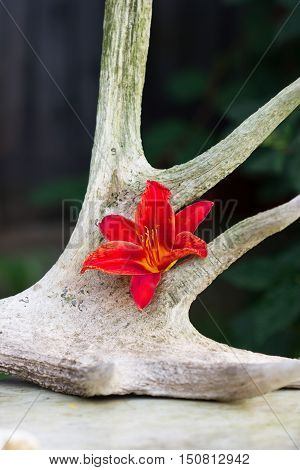 The photo shows one flower of a red Lily on the horns