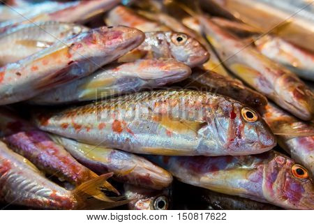 Fresh fish mullet vulgaris (red mullet) lies on the counter