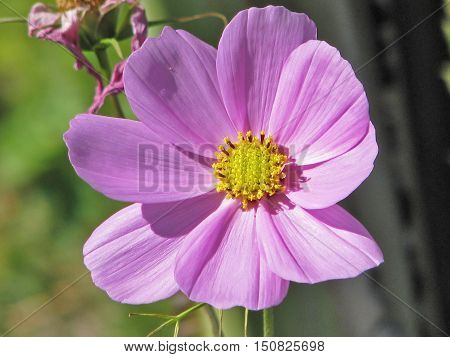 Purple Flower, Cosmos With A Green Back Ground 01a