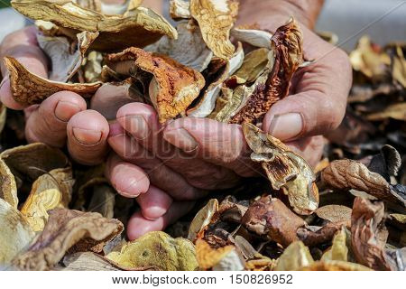 A lot of dried mushrooms. Elderly man holds in his hands a lot of good dried mushrooms.Mushroom boletus. Cep boletus