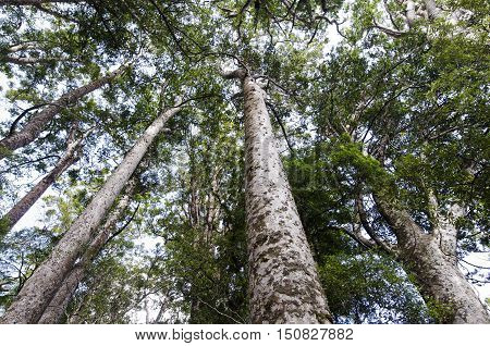 Many trees inside Puketi Forest Northland New Zealand.