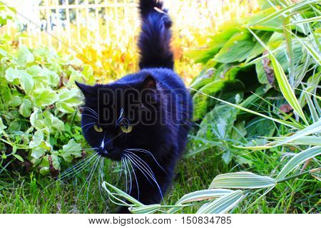 black cat going for a walk on green grass